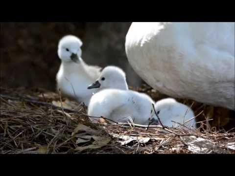 Baby swans taking their first walk
