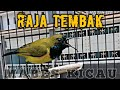 Sogok Ontong Gacor Full Tembakan Keras Pancingan Sogon Cepat Emosi Olive Backed Sunbird Call  Mp3 - Mp4 Download