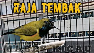 SOGOK ONTONG GACOR FULL TEMBAKAN KERAS || PANCINGAN SOGON CEPAT EMOSI || olive backed sunbird call