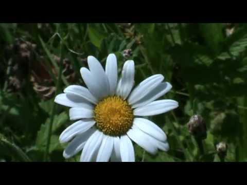 Гадание цветок ромашка *** Гадания онлайн бесплатно