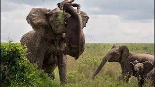 象は水牛を離れて怖がって、1(強い場面を)殺します 象は水牛を離れて...