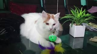 Millo The Turkish Van : Playing With My Toy