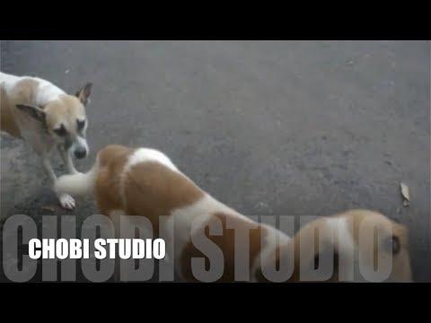 【マンガロール犬チョビさん】インド犬チョビ、友達犬に嫉妬する