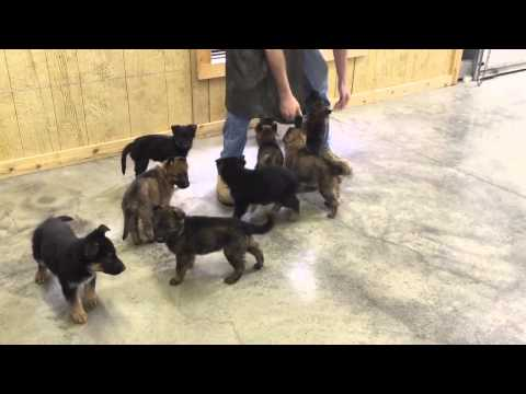 It ALL Begins Here German Shepherd Puppies Bred For Personal Protection Work