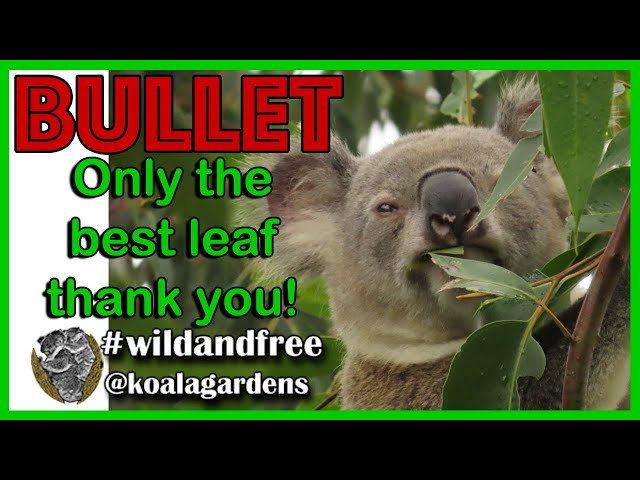 Koala choices 🌿🐨✅  when only the best leaf will do for Bullet koala
