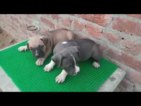 American Bully puppy for sale in Dwarka | Price in Delhi / India -  9555944924