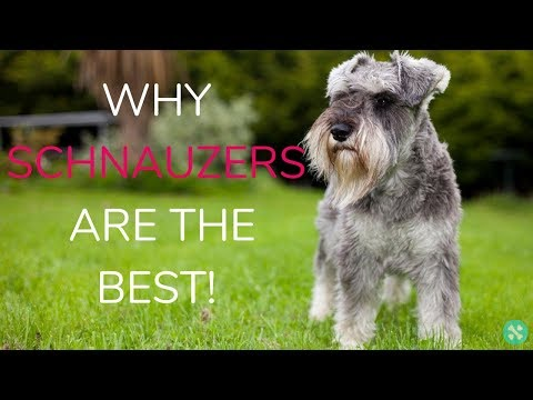 Why Schnauzers Are The Best!