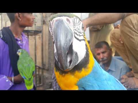 karachi birds market lalukhet