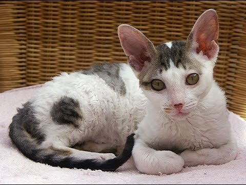 Cornish Rex / Cat Breed