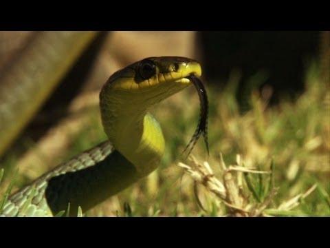 Giftige Untermieter: Schlangen