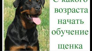 С какого возраста дрессировать щенка? с какого возраста начать обучение собаки?