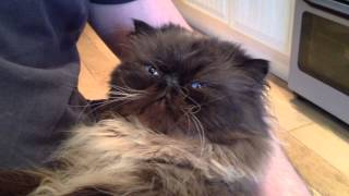 Persian cat wants snuggles