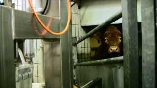 Repeat youtube video Bioschlachthaus Schweine + Kühe Teil 1