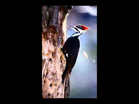 If Only If Only The Woodpecker Cries Youtube