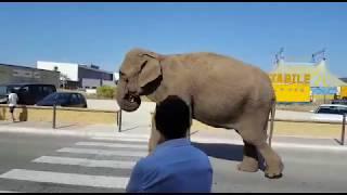 Sorso: elefante scappa dal circo e passeggia in strada