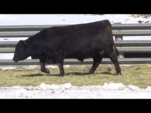 Connealy Angus Lot 463