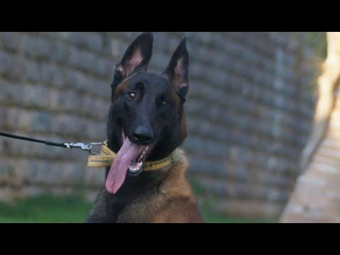 Belgian Malinois Puppies for Sale in India. Adult Belgian Malinois Stud & Belgian Puppies Clips.
