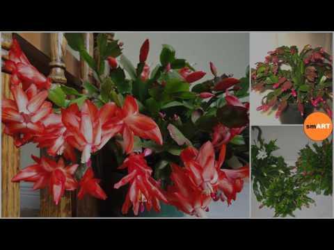 christmas cactus plant christmas cactus poisonous - Christmas Cactus Poisonous To Cats
