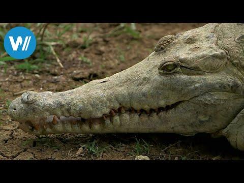 Die letzten Krokodile