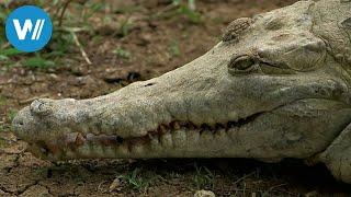 Die letzten Krokodile Venezuelas (360° - GEO Reportage)