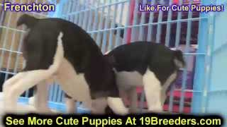 Frenchton, Puppies, For, Sale, In, Rio Rancho, New Mexico, County, Nm, Sandoval, San Juan, Mckinley,