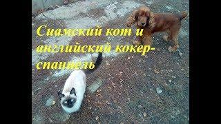Сиамский кот и английский  кокер-спаниель-ДРУЗЬЯ!Siamese cat and Cocker Spaniel/ВИДЕО О ЖИВОТНЫХ/