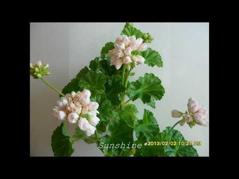 Pelargonium Emma fr Bengstbo 1 (2012~2013) 튤립 펠라고늄 엠마 벵츠보