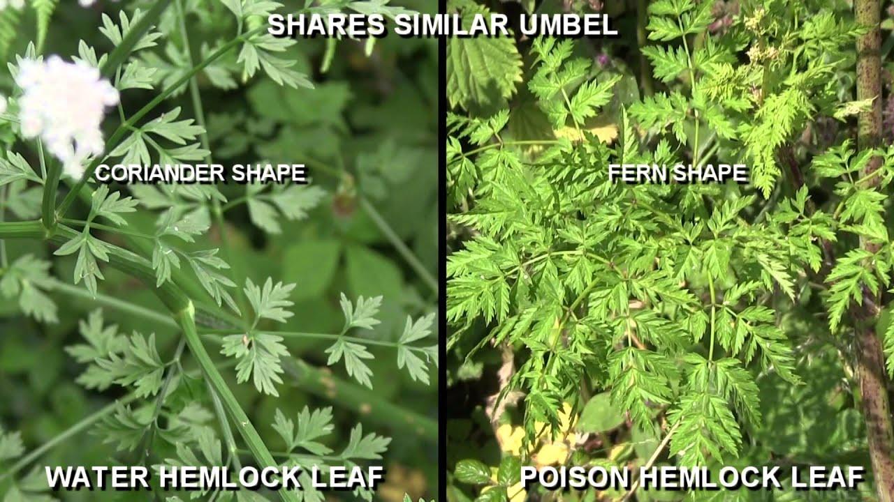 how to prepare hemlock poison