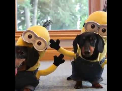 Dachshund Minions - PART 3 & FINAL it is cartoon snippet!