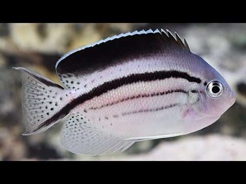 BLACK STRIPED/ LAMARCK ANGELFISH
