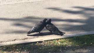 Голуби целуются (Pigeons kissing - doves is love)
