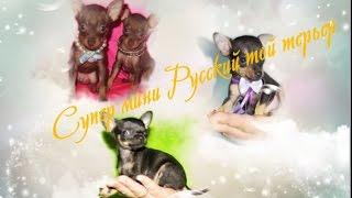 #Супер мини той терьер русский Крошечный декоративный #тойчик