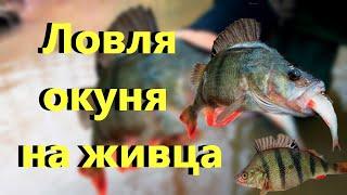 САМАЯ УБОЙНАЯ НАЖИВКА НА ОКУНЯ КАК ПОЙМАТЬ ОКУНЯ Ловля окуня на живца Рыбалка на окуня