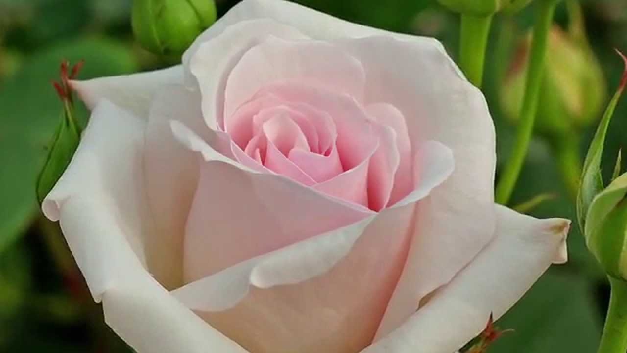 Top 10 Beautiful Flowers On Earth Video Youtube