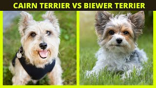 CAIRN TERRIER VS BIEWER TERRIER   Terrier breeds facts and differences