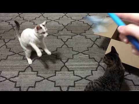 Cat Panting! Siamese, Calico and Tabby Cat Playing