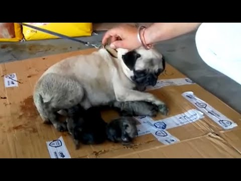Pet Care - How to Care New Born Puppies - Bhola Shola