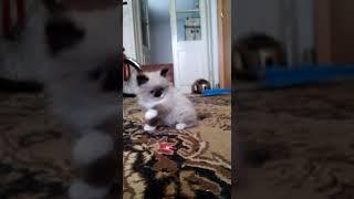 ПРОДАЖА котята RagDoll Кошка кукла 025