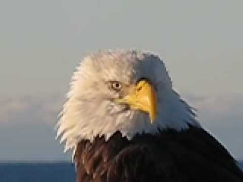 Up close and personal with an Alaska eagle
