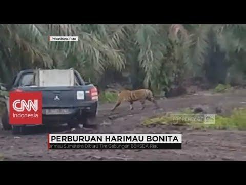 Harimau Bonita Pemangsa Dua Warga di Riau Masih Diburu