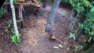 Samiec bażanta w karmisku dla dzikich zwierząt w lesie na Podkarpaciu