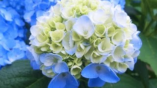 youtube動画音源借用 これからの季節ですね。歌よりも花を堪能下さい。