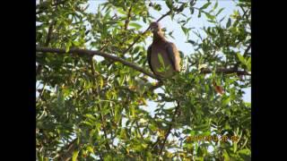 דקלון - צל עץ תמר, הקולות של פיראוס