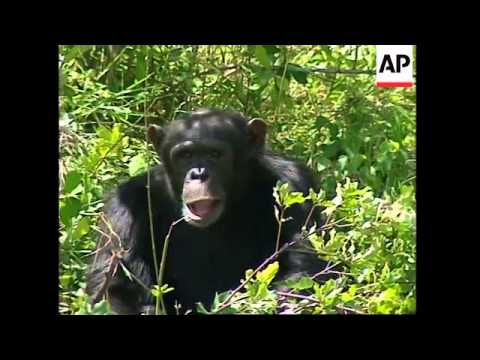 kenya:-illegal-hunting-is-now-greatest-threat-to-chimpanzees