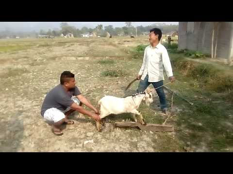 How to kill a goat