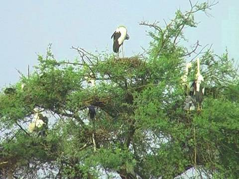Open bill Stork�s nesting at Bharatpur, Rajasthan