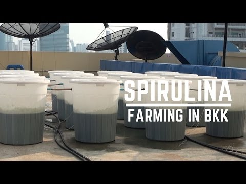 Urban Farming in Bangkok: Growing Spirulina on Rooftops