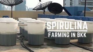 Urban Farming in Bangkok: Growing Spirulina on Rooftops
