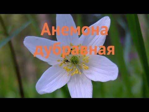 Анемона дубравная (anemona-dubravnaya) 🌿 дубравная анемона обзор: как сажать, саженцы анемоны