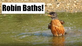 Robin Bath Time!
